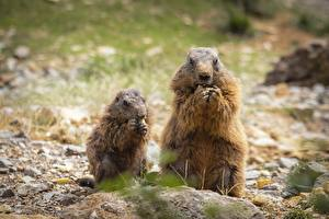 Fotos & Bilder Murmeltiere Zwei Bokeh Essen Tiere