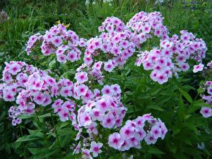 Fonds d'écran Phlox Beaucoup fleur
