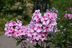 Bilder Flammenblumen Rosa Farbe Bokeh Blüte