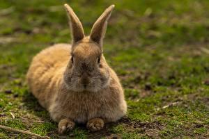Bilder Kaninchen Bokeh Liegen ein Tier
