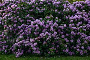 Fonds d'écran Azalées Beaucoup Arbrisseau Violet fleur