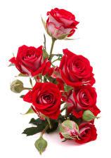 Bilder Rosen Weißer hintergrund Rot Knospe Blumen