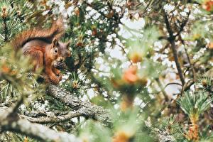 Bilder Eichhörnchen Ast Unscharfer Hintergrund Zapfen Tiere