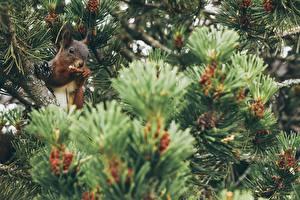 Fotos Hörnchen Ast Zapfen Bokeh ein Tier