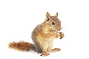 Desktop wallpapers Squirrels White background Animals