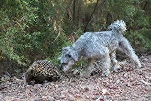 Desktop wallpapers Stone Dog Two Irish Wolfhound Miniature Schnauzer, Echidna Animals