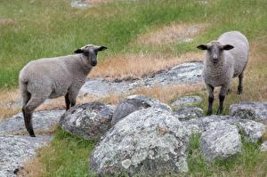 Hintergrundbilder Stein Hausschaf Gras Zwei ein Tier