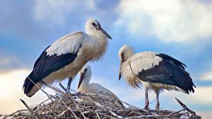 Fondos de escritorio Cigüeñas Aves Trio