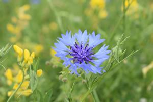 Tapety na pulpit Lato Chabry Bokeh Barwa niebieska Kwiaty