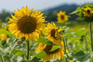Tapety na pulpit Słoneczniki Rozmazane tło Żółty Kwiaty