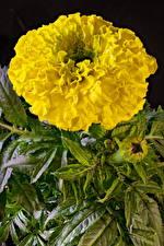 Bilder Studentenblume Großansicht Gelb Blüte