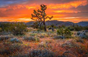 Fotos USA Parks Bäume Kalifornien Joshua Tree National Park Natur