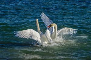 Tapety na pulpit Woda Ptak Łabędź Plusk wody Biały Dwie Zwierzęta