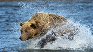 Fotos Ein Bär Wasser Braunbär Spritzwasser