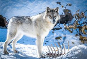 Fonds d'écran Loups Neige Des Os Voir