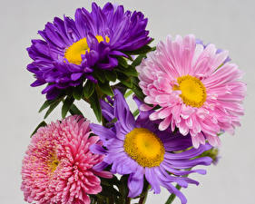Pictures Asters Closeup Gray background Multicolor Flowers