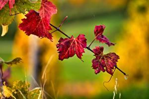 Papéis de parede Outono Bokeh Galho Folhagem Vermelho Naturaleza imagens