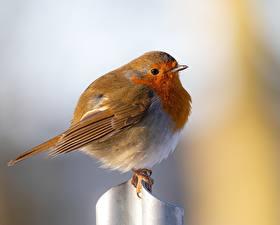 Fondos de escritorio Pájaro Bokeh European robin animales