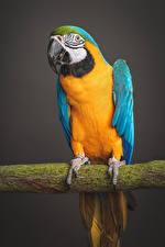 Bakgrundsbilder på skrivbordet Fågel Papegoja Grenar Näbb Djur