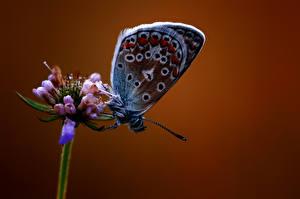 Desktop hintergrundbilder Schmetterlinge Insekten Großansicht Tiere