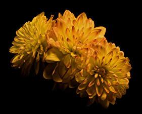 Papéis de parede Chrysanthemum De perto Fundo preto Três 3 Amarelo Flores imagens