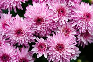 Pictures Chrysanthemums Many Pink color
