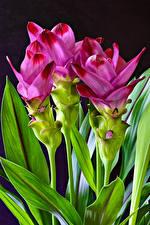 Papéis de parede De perto Fundo preto Cor-de-rosa Curcuma Flores imagens