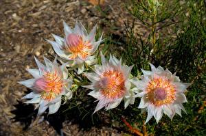Papel de Parede Desktop De perto Bokeh Serruria florida Flores
