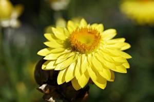 Papéis de parede De perto Amarelo Bokeh Xerochrysum Flores imagens