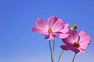 Bureaubladachtergronden Cosmos geslacht Twee 2 Roze kleur bloem