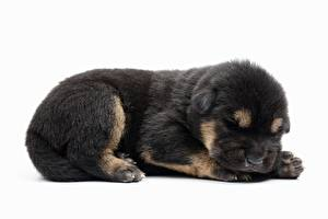 Bureaubladachtergronden Hond Duitse herder Witte achtergrond Pup Liggend Dieren