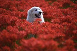 Bureaubladachtergronden Honden Hoofd Bokeh Pyrenean Mountain Dog