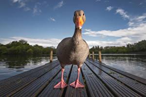 Wallpapers Ducks Rivers Beak Animals pictures images