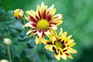 Bilder Gazania Bokeh Gelb Knospe Blumen