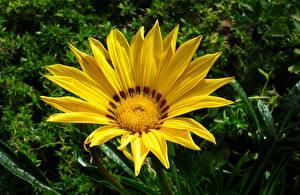 Bilder Gazania Hautnah Gelb Blüte