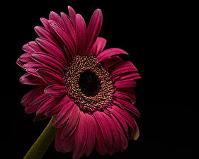 Bureaubladachtergronden Gerbera's Close-up Zwarte achtergrond Bordeaux bloem
