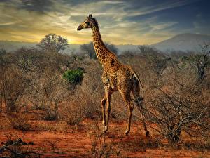 Fonds d'écran Girafes Arbrisseau Animaux