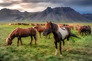Tapety Islandia Góry Konie  Natura zdjęcia zdjęcie