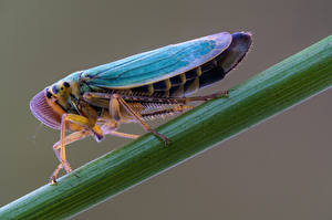Papel de Parede Desktop Insetos De perto cicadella viridis Animalia