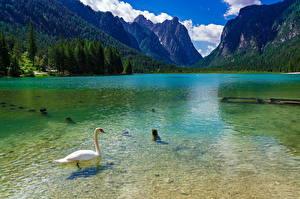bilder Italia Fjell Innsjø Svaner Alpene Lake Dobbiaco Natur Dyr bilder skrivebordsbakgrunn