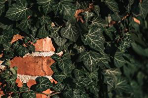 Bilder Wände Aus Ziegel Blatt Ivy Natur