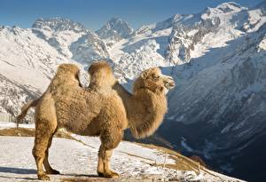 Tapety na pulpit Góra Wielbłądy Śnieg Widok z boku zwierzę
