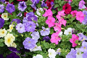 Papel de Parede Desktop Petúnia Muitas De perto Multicolor Flores