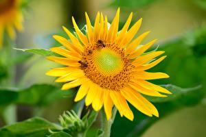 Desktop hintergrundbilder Sonnenblumen Bienen Insekten Bokeh Gelb Blumen
