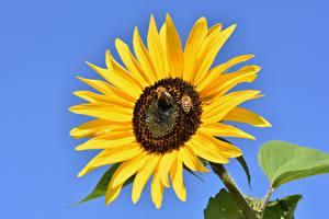 Bilder Sonnenblumen Bienen Insekten Gelb Blüte