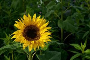 Fotos Sonnenblumen Unscharfer Hintergrund Gelb Blüte
