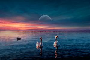 Pictures Sunrise and sunset Swans Duck Bird Moon Animals