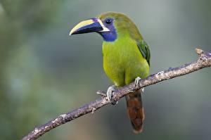 Papel de Parede Desktop Tucano Pássaros De perto Galho animalia