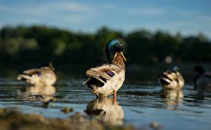 Fondos de escritorio Agua Aves Patos Bokeh Animalia