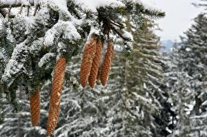 Papéis de parede Invierno Neve Galho Pinha Bokeh Naturaleza imagens